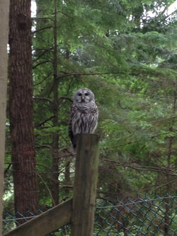 Barred Owl - Raptors Ridge Birds of Prey Inc
